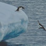 Penguins and the act of mimetic habits